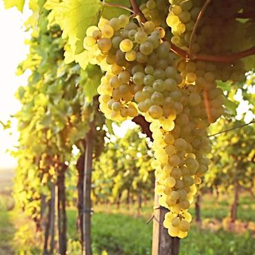 Les vins blancs Altanatura