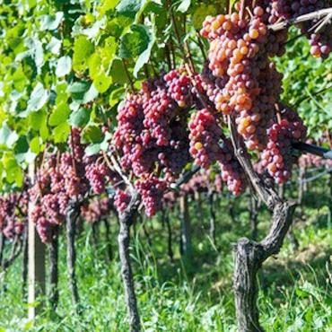 Les vins rosés Altanatura
