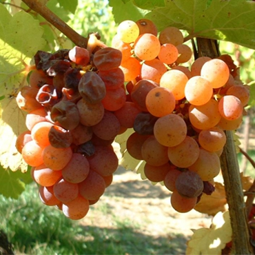 Les vins moelleux Altanatura